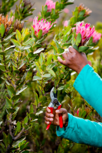 Sustainable wildflower harvesting Protea